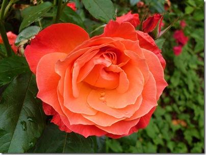 Una rosa nel giardino della Bella Addormentata