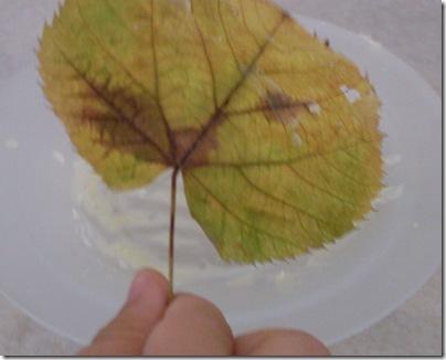 Aj che immerge le foglie nella cera