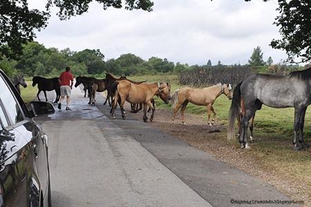 cavalli selvaggi attraversano la stradaDSC_0883