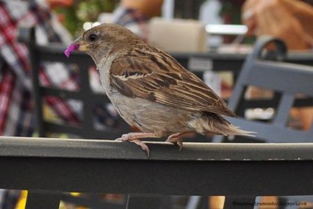uccellino al caffè in Piazza a ortiseiDSC_0539