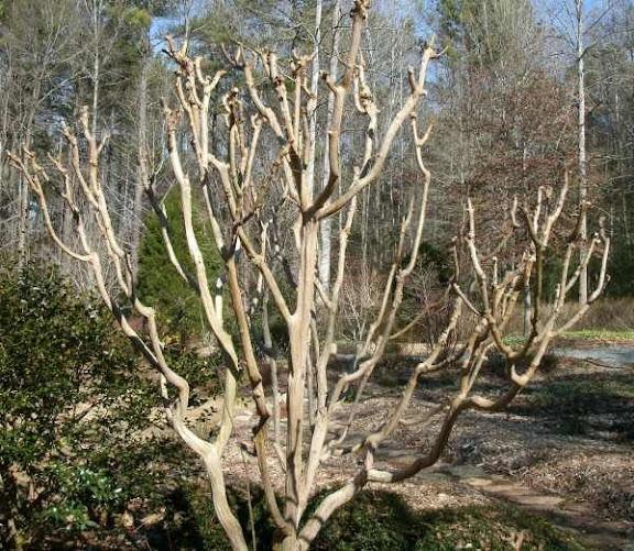 crape myrtle winter-pruned
