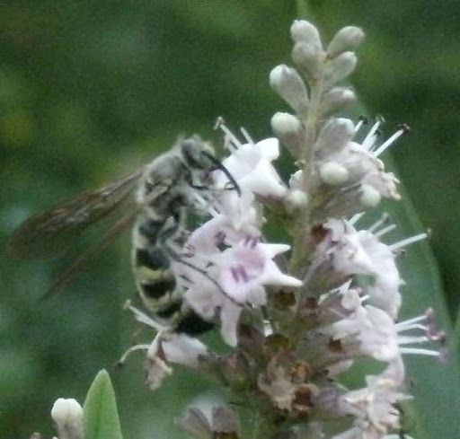 bee onna vitex bloom