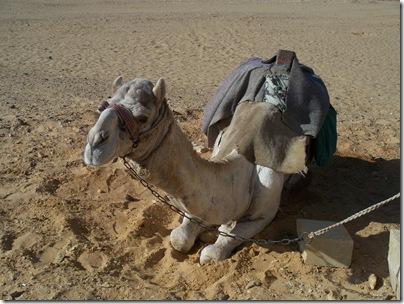 12-29-2009 013 Dashur - camel