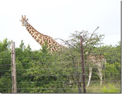 12-04-2009 020 Giraffes along highway