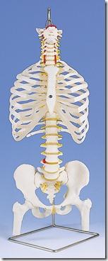A56-2_L_coluna-classica-flexivel-com-costelas-e-cabecas-de-femur