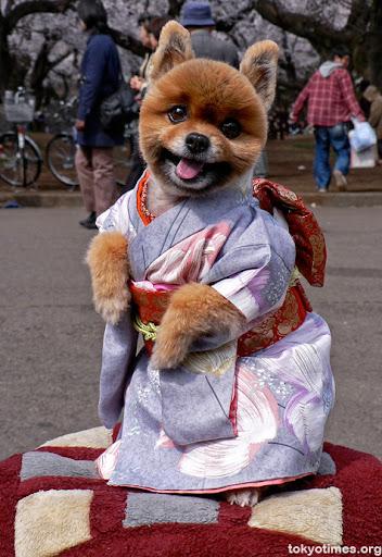 собака в японском кимоно