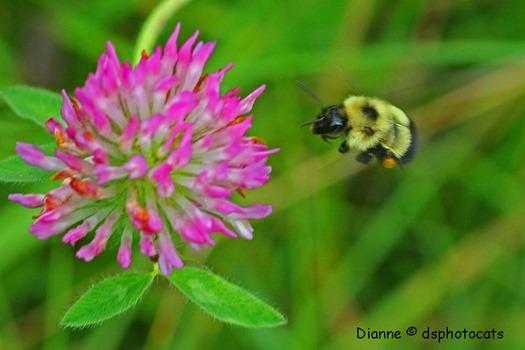 IMG_5423 Bumble Bee