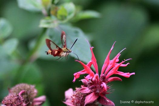 IMG_6128 Hummingbird Moth