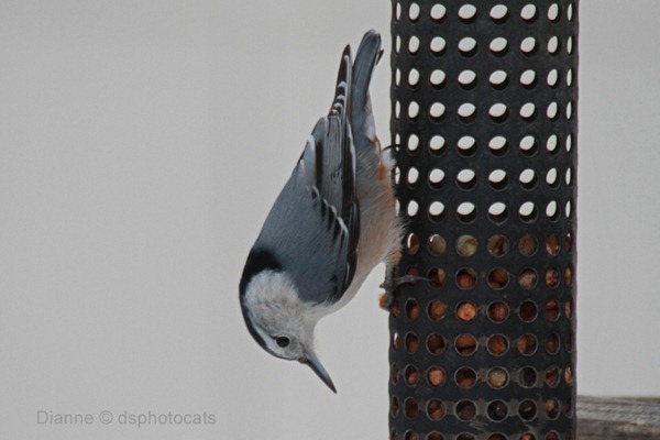 IMG_1859_White-Breasted Nuthatch