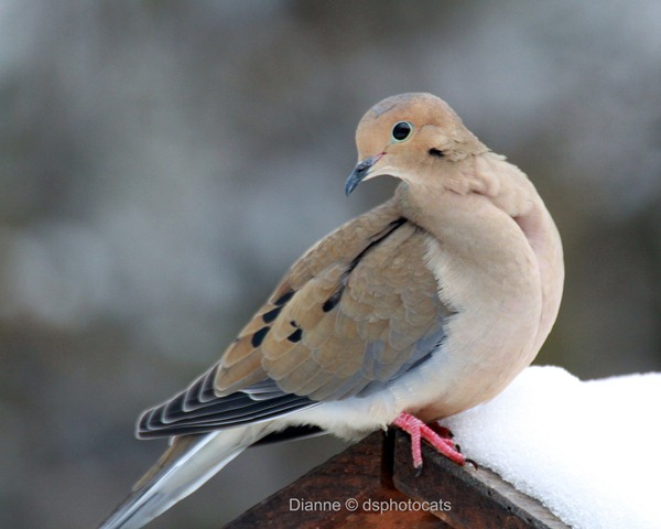 IMG_1836 _Mourning Dove