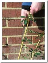 زراعة نبات الجهنمية(المجنونة Bougainvillea 3_thumb[1].jpg?imgmax=800