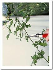 زراعة نبات الجهنمية(المجنونة Bougainvillea 7_thumb[3].jpg?imgmax=800
