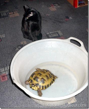 kot żółw