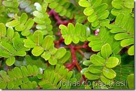folhas do pau-brasil