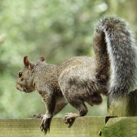Hopping along by Karen Phil Griggs - Animals Other Mammals ( fence, disablity, squirrel )