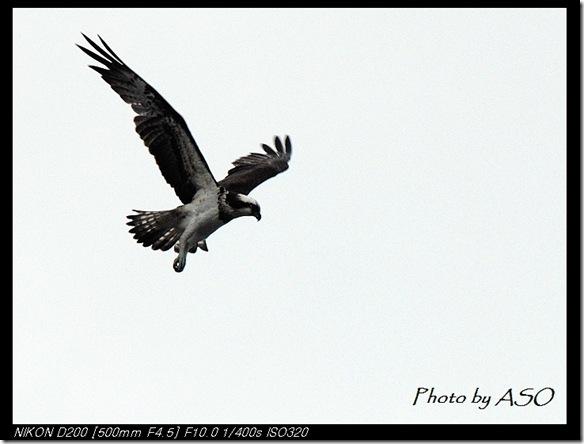 魚鷹(20080301花蓮溪口)01442