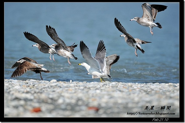 黑尾鷗(2010-02-22花蓮溪口)0002