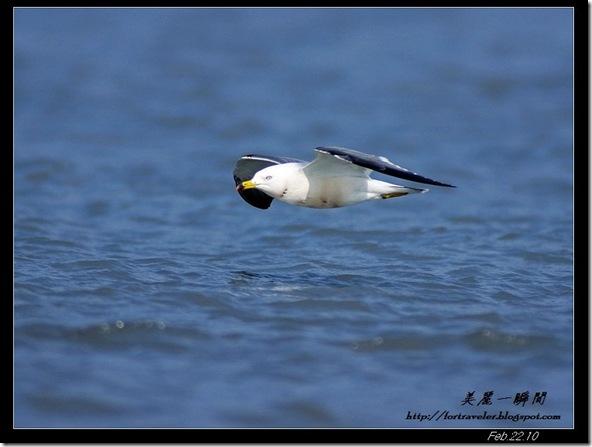 黑尾鷗(2010-02-22花蓮溪口)6512
