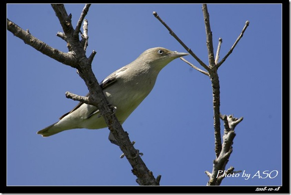 灰背椋鳥(2008-10-17社頂公園)9259