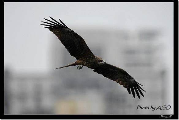 黑鳶(2008-11-30基隆港)3476