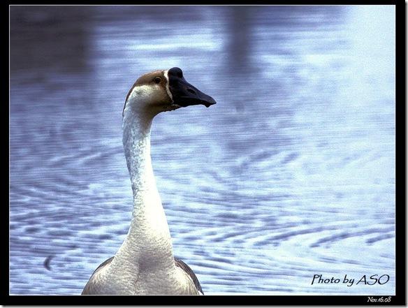 家鵝(20008-11-16宜蘭塭底)2215