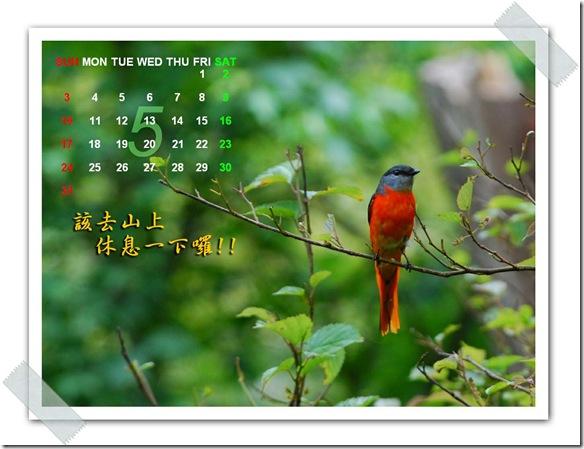 5月  灰喉山椒鳥(中橫中路)