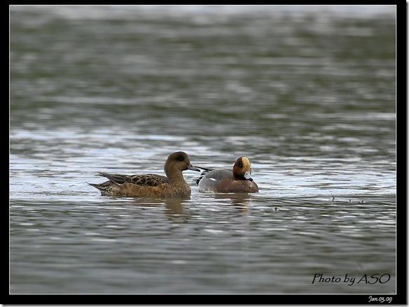 赤頸鴨(2009-01-03塭底)5335