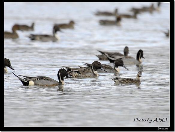 尖尾鴨(2009-01-03塭底)5182