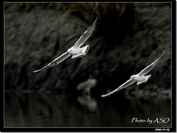 紅嘴鷗(2009-01-04宜蘭塭底)5635
