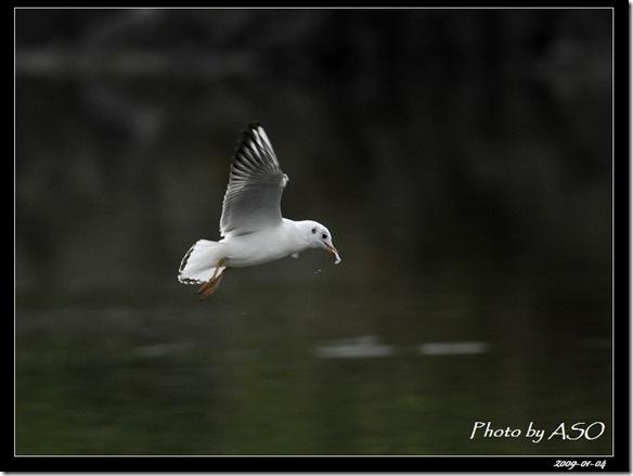 紅嘴鷗(2009-01-04宜蘭塭底)5621
