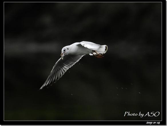 紅嘴鷗(2009-01-04宜蘭塭底)5666