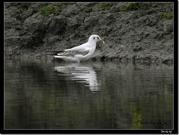 紅嘴鷗(2009-01-04宜蘭塭底)5677