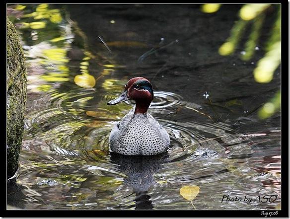 小水鴨(2008-08-17兆豐農場)6554