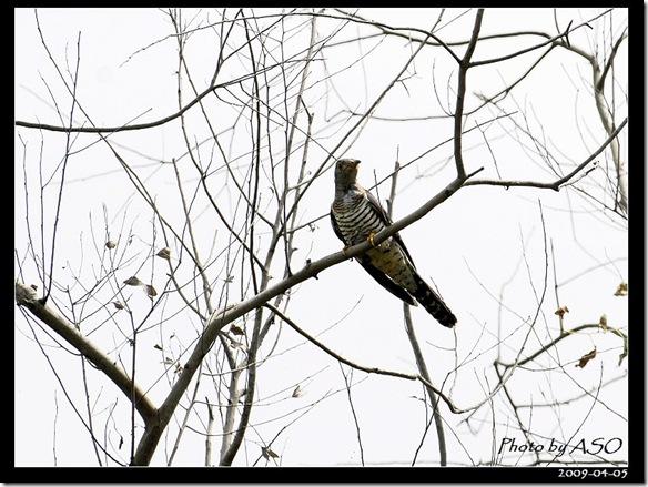 筒鳥(2009-04-05壽豐)9139