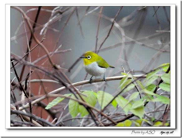 綠繡眼(2008-04-05台北)0026