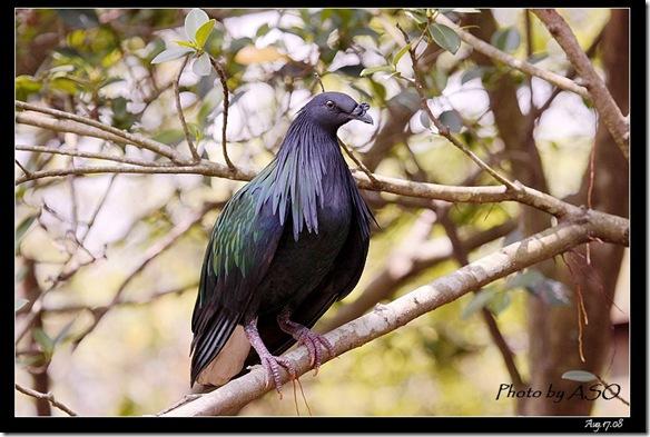 尼柯巴簑鳩Caloenas nicobarica(2008-08-17兆豐農場)6277