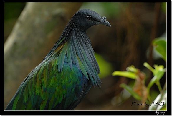 尼柯巴簑鳩Caloenas nicobarica(2008-08-17兆豐農場)0317