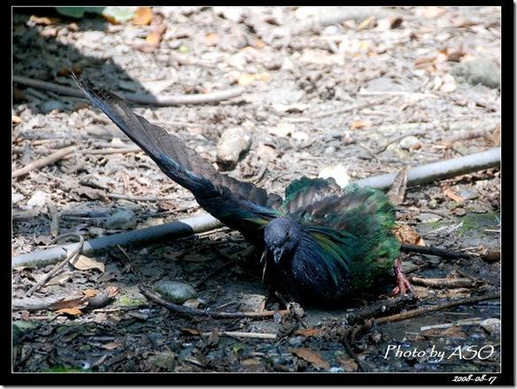 尼柯巴簑鳩Caloenas nicobarica(2008-08-17兆豐農場)0029