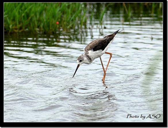 長腳鷸(2008-07-27金城湖)0232