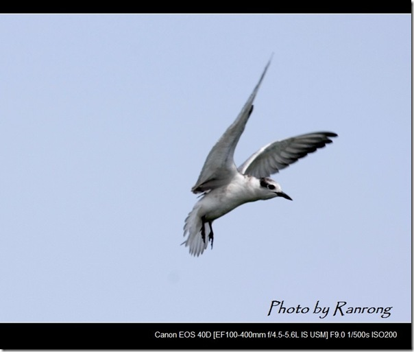 黑腹燕鷗(2008-10-04壽豐養殖區)8626