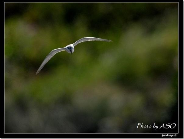 黑腹燕鷗(2008-09-21太平溪口)0954