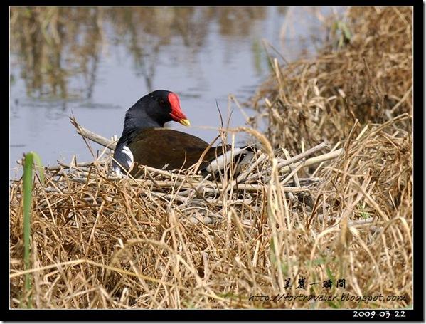 紅冠水雞(2009-03-22礁溪)8414