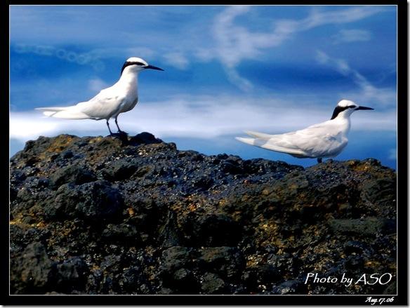 蒼燕鷗(2006-08-17綠島)0086