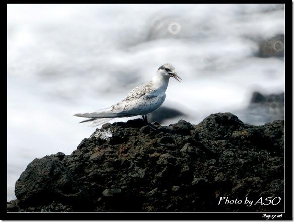 蒼燕鷗(2006-08-17綠島)0089