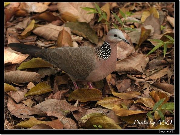 斑頸鳩(2009-1-22植物園)5633