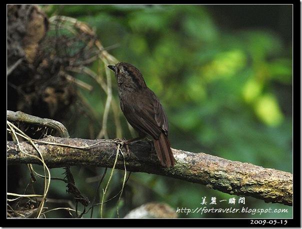 頭烏線(2009-05-16鯉魚山)5994