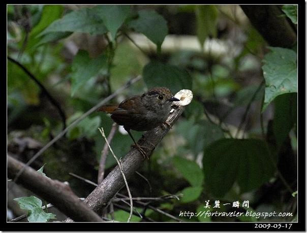 頭烏線(2009-05-17鯉魚山)0956