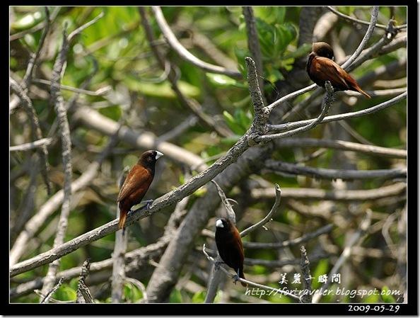 黑頭文鳥(2009-05-29七星潭)1642
