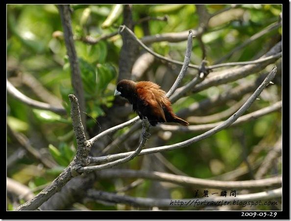 黑頭文鳥(2009-05-29七星潭)1650