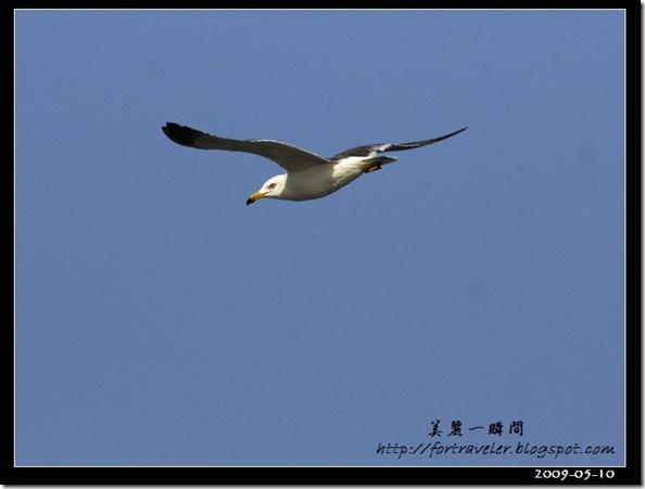 黑尾鷗(2009-05-10大溪漁港)0564